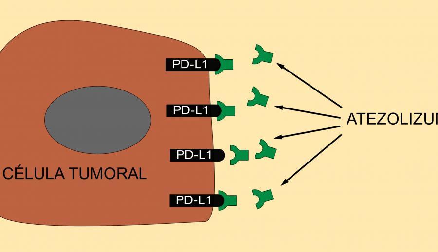 Механизм действия атезолизумаба