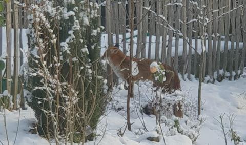 Лисы в Бельгии